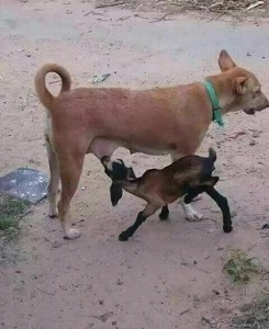 kambing susu anjing